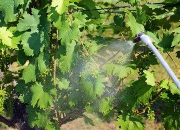 Обработка винограда медным купоросом: преимущества, эффективность, технология