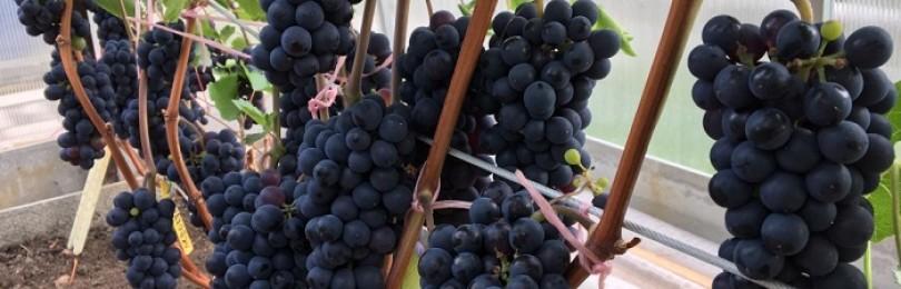 Выращивание винограда в Подмосковье: специфика, выбор сортов, технология