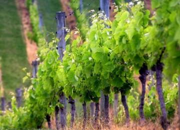Формировка винограда – от самой простой схемы до профессиональной