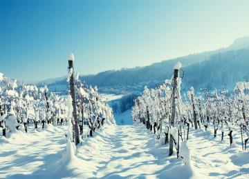 Подготовка винограда к зиме – перечень необходимых работ