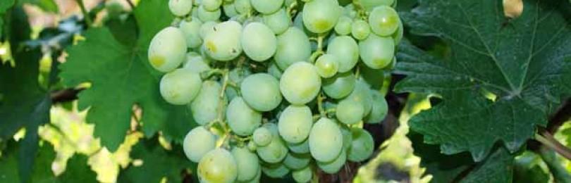 Причины горошения винограда