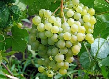 Сорт винограда Алешенькин