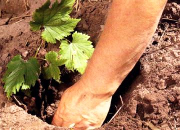 Что необходимо знать о размножении винограда