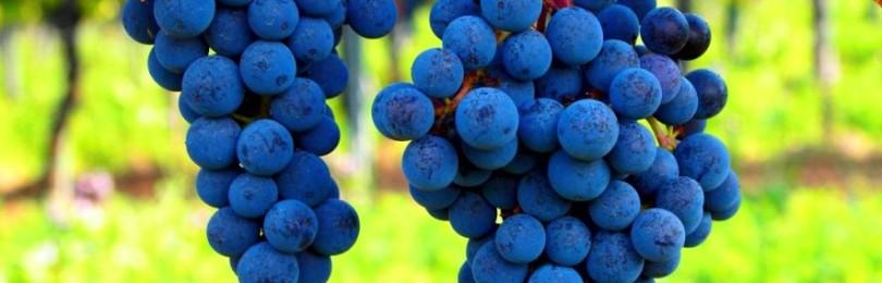 Сорт винограда Триумф