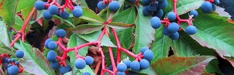 Размножение дикого винограда