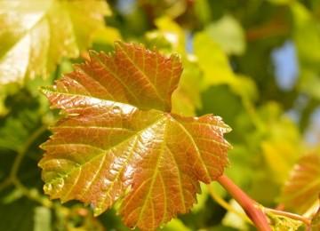 Листья винограда желтеют и скручиваются в начале лета – что делать и как избежать