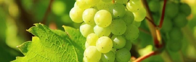Как ухаживать за виноградом, чтобы получить хороший урожай