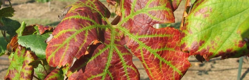 Что делать, если листья винограда скручиваются и сохнут