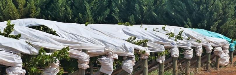 Когда укрывать виноград на зиму и как это делать правильно