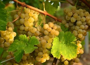 Особенности выращивания винограда в средней полосе России. Советы опытных виноградарей по уходу.