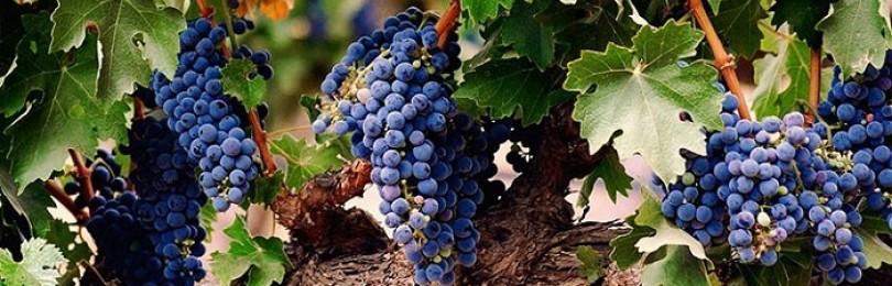 Подкормка винограда после цветения