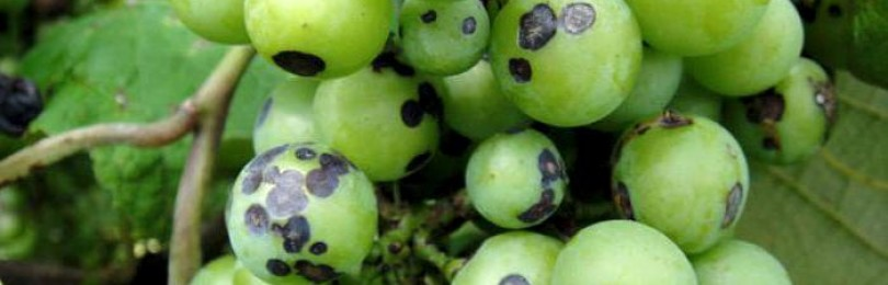 Антрактоз винограда