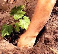 Как размножать виноград