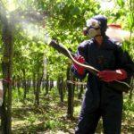 Виды болезней винограда и эффективная борьба с ними