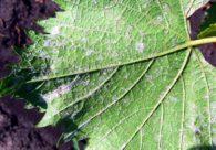Опаснейшее заболевание винограда милдью
