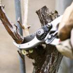 Правила обрезки плодоносящего винограда весной