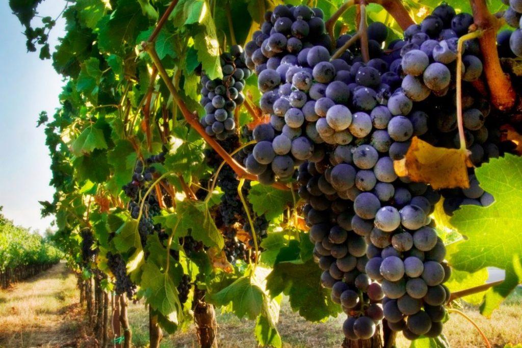 Кисть винограда Каберне Совиньен