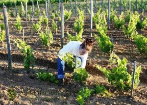 podkormka-vinograd 2