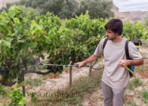 podkormka-vinograd 6
