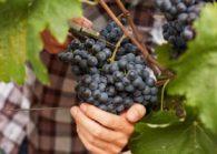 Когда и чем подкармливать виноград?