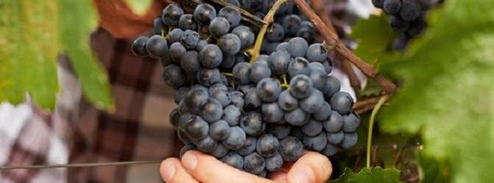 podkormka-vinograd 9