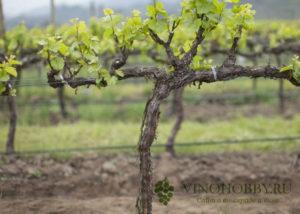 vinograd sibir 1