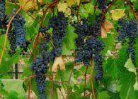 Изучаем нюансы ухода и посадки винограда в Сибири. Пособие для начинающих.