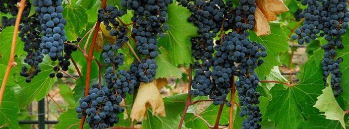 vinograd sibir 10