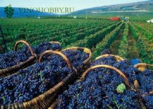 alazanskaya-dolina-vino-4
