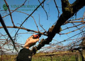 formirovanie-vinograda 2