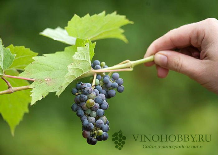 formirovanie-vinograda 7