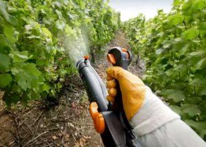 fungicid-strobi-dlya-vinograda 1