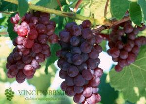 grapes 12