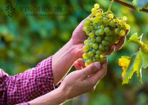 grapes 14