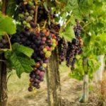 Лоза виноградная: строение, развитие, фазы роста