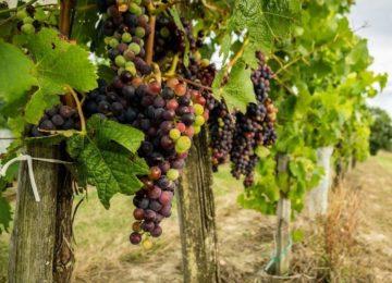 loza-vinogradnaya 1