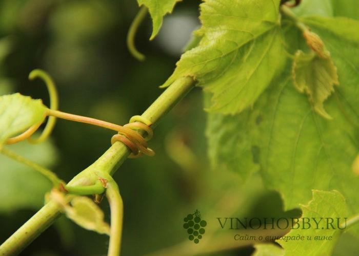 loza-vinogradnaya 6