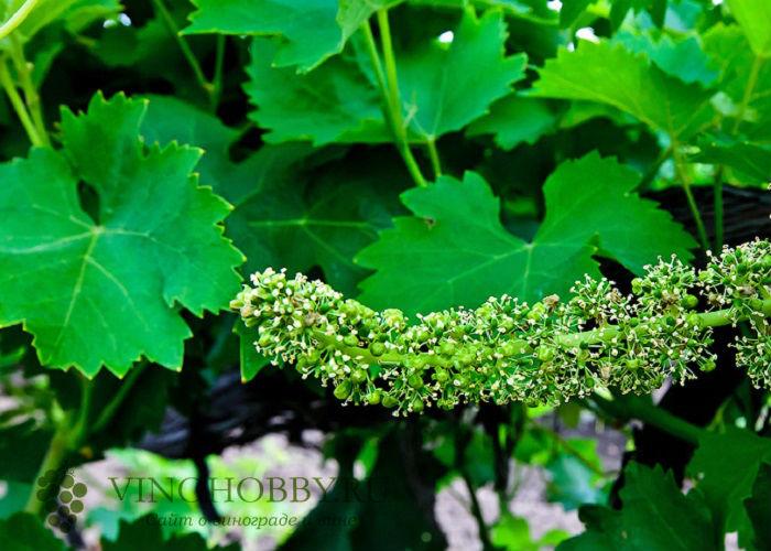 loza-vinogradnaya 7