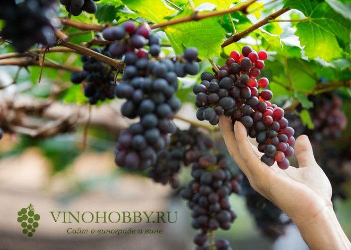 loza-vinogradnaya 8