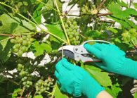 Летняя обрезка винограда – виды и правила