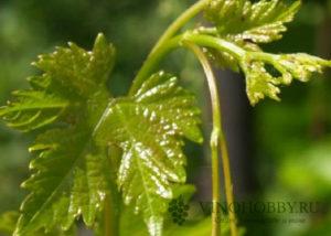 obrezka-vinograda-letom 3