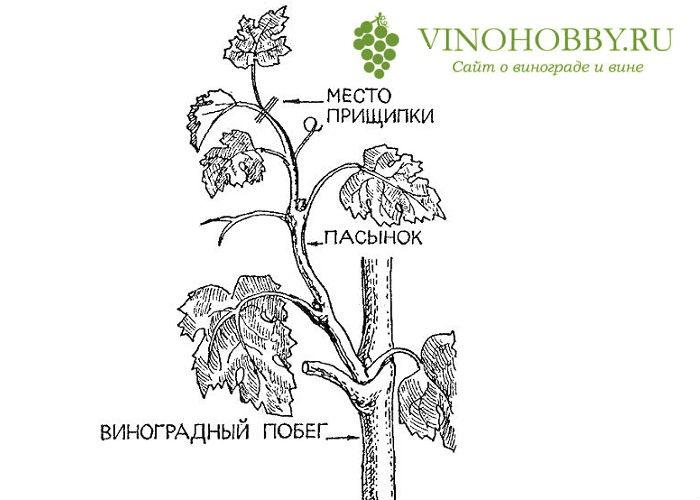 obrezka-vinograda-letom 4