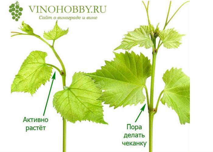 obrezka-vinograda-letom 5