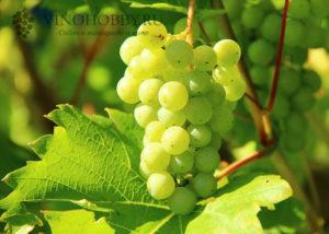 obrezka-vinograda-letom 6