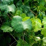 Как часто нужно поливать виноград, чтоб лоза хорошо развивалась и дала хороший урожай