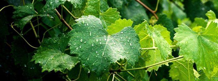 poliv-vinograda-14
