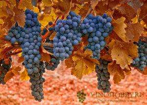 poliv-vinograda-4