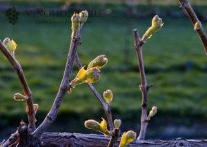 poliv-vinograda-6