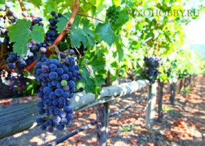 shpaera-dla-vinograda-5