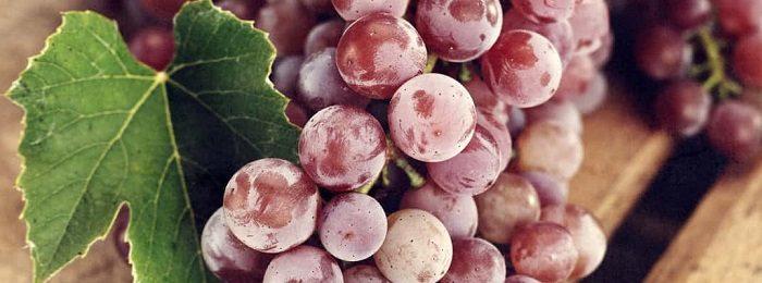 sonnik vinograd 1